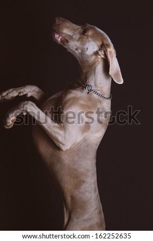 Weimaraner dog studio portrait on black background - stock photo