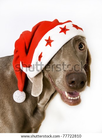 weimaraner dog wearing santa claus cap, weimeraner santa - stock photo
