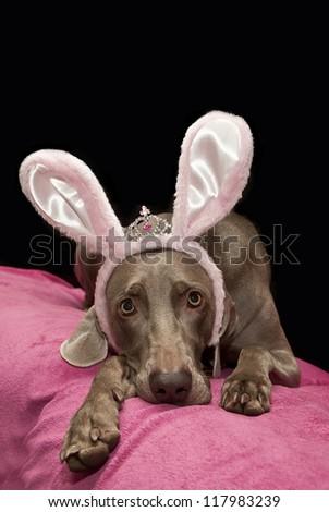 weimaraner dog with bunny ears, bunny dog