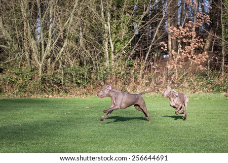 Weimaraner Dogs - stock photo