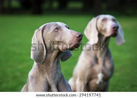 Weimaraner Dogs - stock photo