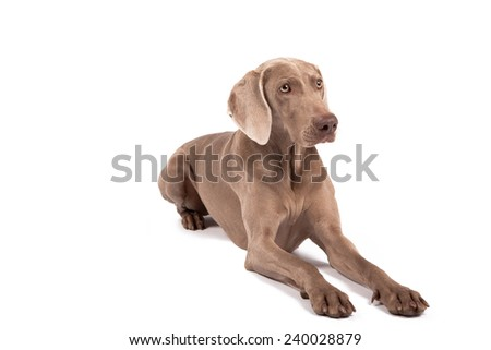 Weimaraner female dog lying in front of white background, isolated on white - stock photo