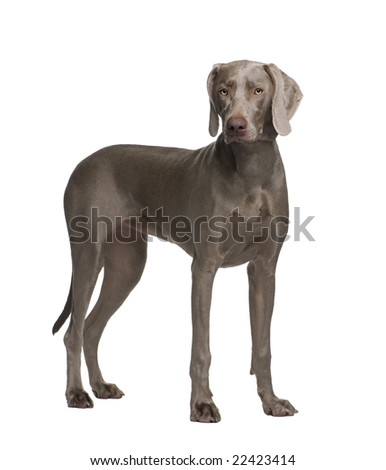 Weimaraner (9 months) in front of a white background - stock photo