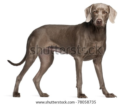 Weimaraner, 12 months old, standing in front of white background - stock photo