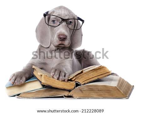 weimaraner puppy - stock photo