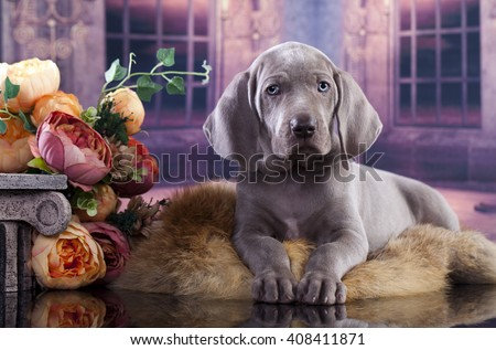 weimaraner puppy in castle  - stock photo
