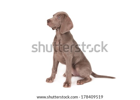 Weimaraner puppy, sitting side view, isolated on white - stock photo