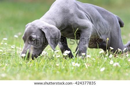 Weimaraner puppy smelling flowers. - stock photo