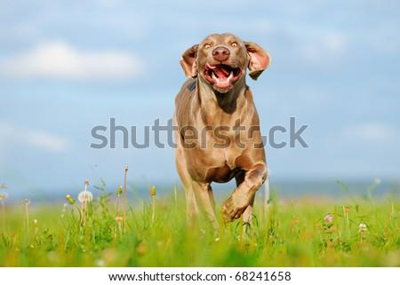 Weimaraner runs happy over the medow - stock photo