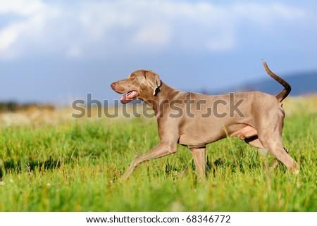 Weimaraner  trots happily above summer meadow - stock photo