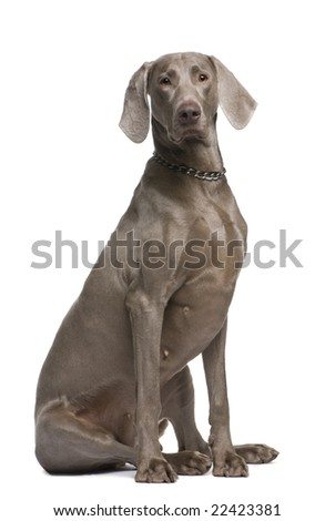 Weimaraner (2 years) in front of a white background - stock photo