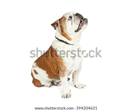 Well-behaved purebred Bulldog breed dog sitting to the side and looking up with attention at a person outside of the frame - stock photo
