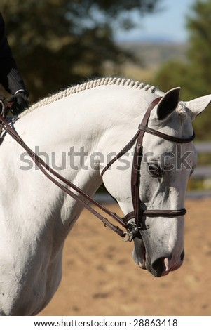 Well-groomed and elegant horse head in early morning sunlight before a horse show (shallow focus point on head and neck). - stock photo