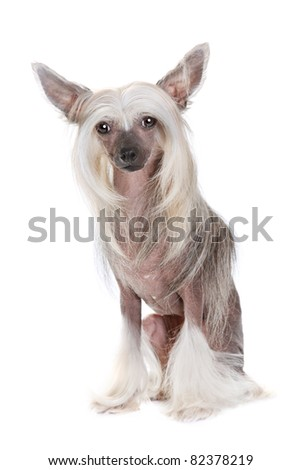 Well-groomed chinese crested dog sitting and looking at camera isolated on white background
