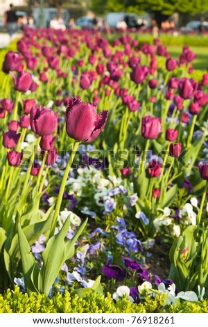 Well-groomed spring garden. Claret tulips - stock photo