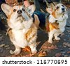 Welsh Corgi Cardigan - stock photo
