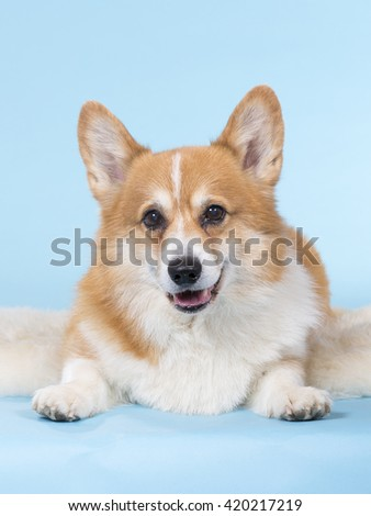 Welsh Corgi dog portrait. Image taken in a studio with a turquoise background.