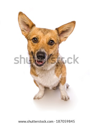 Welsh Corgi dog sitting smiling at camera isolated on white background - stock photo