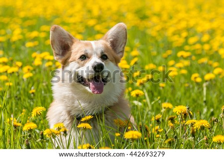 Welsh Corgi in the field on a background of dandelions