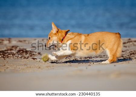 welsh corgi pembroke catching a ball - stock photo