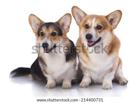 Welsh Corgi Pembroke dog - stock photo