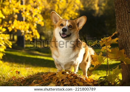 Welsh Corgi Pembroke dog - stock photo