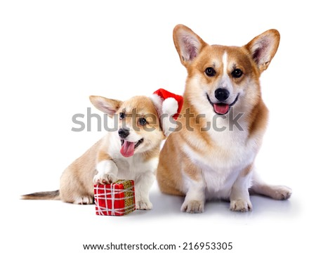 Welsh Corgi Pembroke dog in a Santa Claus hat and present - stock photo