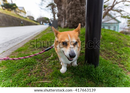 Welsh Corgi Pembroke dog on grass field at old Hakodate Public hall around Motomachi district, Japan