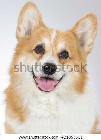 Welsh Corgi Pembroke dog portrait. The dog is 12 years old. Image taken in a studio. - stock photo