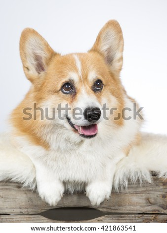 Welsh Corgi Pembroke dog portrait. The dog is 12 years old. Image taken in a studio.