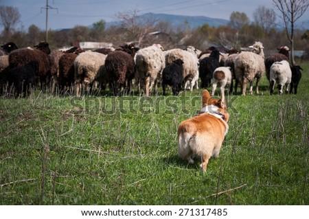 Welsh corgi pembroke herding a flock of sheep - stock photo