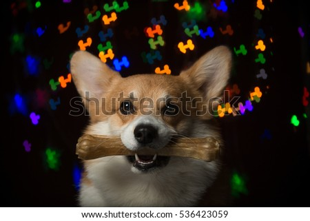 Welsh corgi pembroke holding a bone against colorful bone-shaped bokeh background