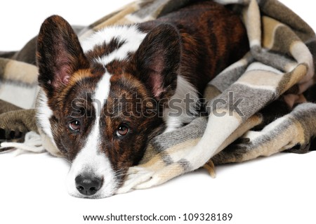 Welsh  corgi pembroke in studio in front of a white background - stock photo