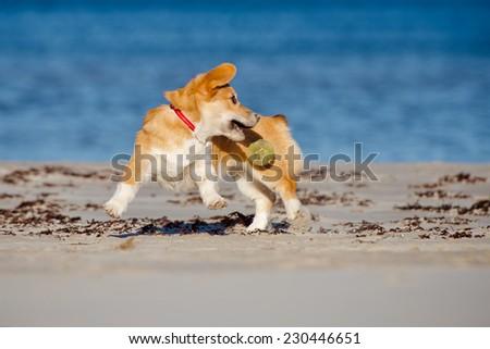 welsh corgi pembroke puppy catching a ball - stock photo