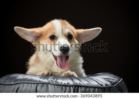 Welsh corgi pembroke puppy laying on a cushion looking happy - stock photo