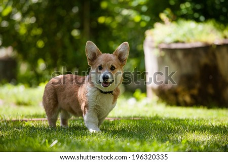 Welsh corgi pembroke puppy looking straight - stock photo