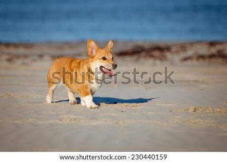 welsh corgi pembroke puppy on a beach - stock photo