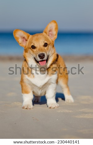 welsh corgi pembroke puppy on the beach - stock photo
