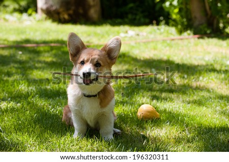 Welsh corgi pembroke puppy sitting with a stick in its mouth - stock photo