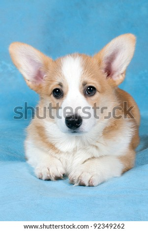 Welsh Corgi puppy lying on a light blue background - stock photo