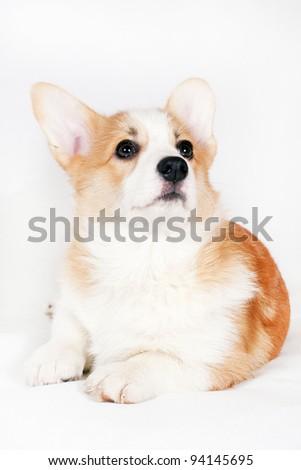 Welsh Corgi puppy lying on a white background - stock photo