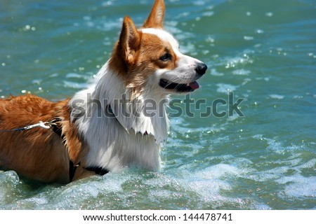 Welsh Corgi - The smartest dog ever - stock photo