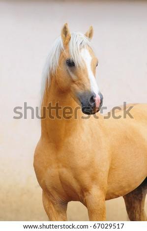 welsh mountain pony stallion portrait - stock photo