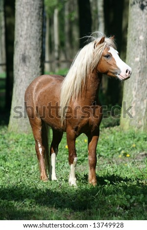 Welsh mountain stallion looking to his mare - stock photo