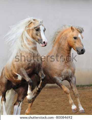 welsh ponies fighting - stock photo