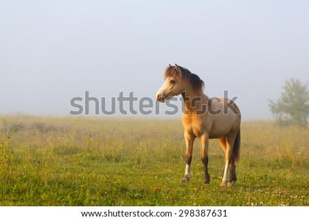 welsh pony  - stock photo