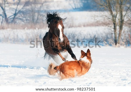 Welsh pony and border collie dog play in winter - stock photo