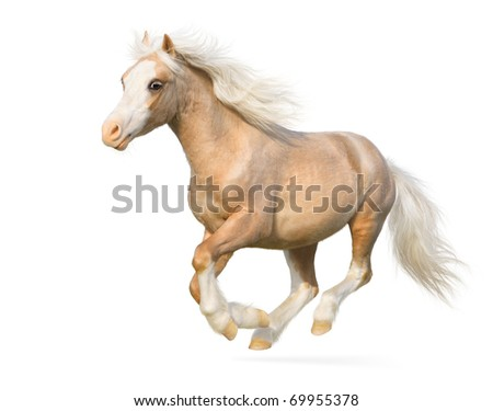 Welsh pony gallops - isolated on white - stock photo