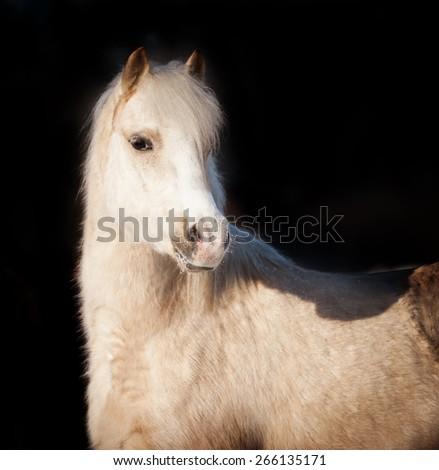 Welsh pony horse portrait isolated on black background. - stock photo