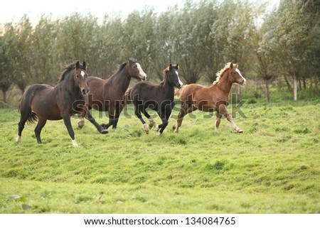 Welsh pony mares with foals running on green pasturage